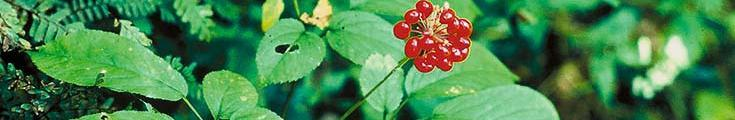 siberian ginseng berries growing