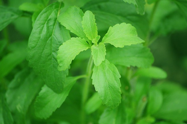 Weight Loss ingredient stevia