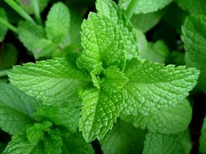 Peppermint leaf extract V-Tox ingredient